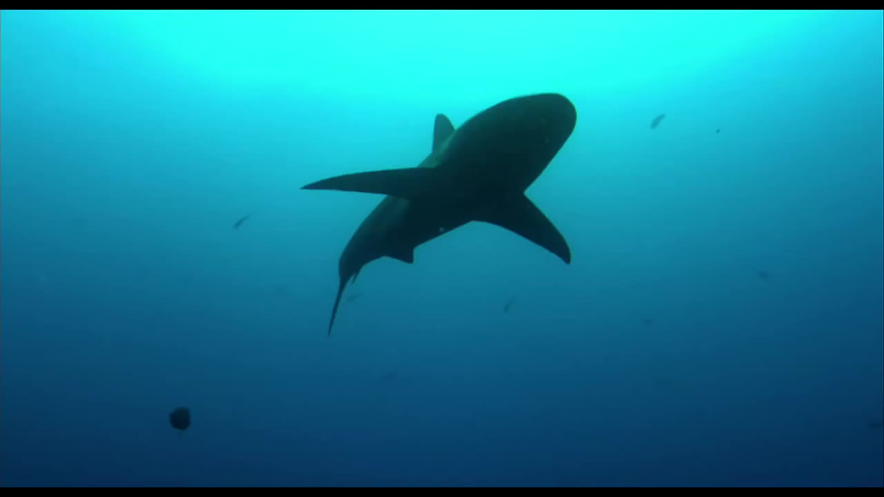 sharkwater a tribute to rob stewart showtimes movie. Black Bedroom Furniture Sets. Home Design Ideas